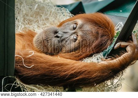 Cute Orangutan With Red Fur Having A Rest In Zoo. Exotic Wild Animal Looking In To Camera. Adult Mal