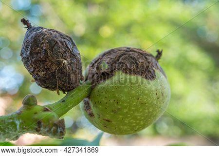 Sick Walnut Fruits Close-up. Spoiled Nut. A Sick Tree.