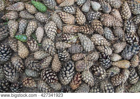 A Pile Of Brown, Gray, And Green Pine And Spruce Cones, Lying Intermingled On The Sandy Soil Of The