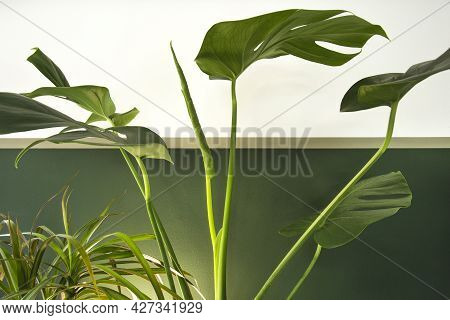 Close Up Of Green Indoor House Plant On White And Green Wall. Minimal Style Interior Decoration With