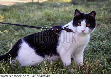 A Domestic Young Black And White Cat Walks On A Chest Strap In Outdoor In The Yard. The Curious Cat