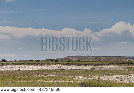 Badlands National Park, Sd, Usa - June 1, 2008: Black Cattle Grazing On Green Prairie Under Blue Clo