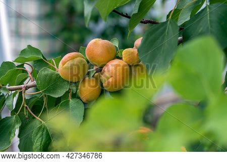 Large Ripe Apricots On A Tree Branch In The Garden. Maturing Apricots On Tree Branch During Summer T