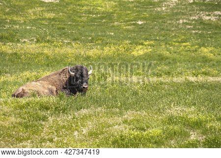 Badlands National Park, Sd, Usa - June 1, 2008: Closeup Of Lying Brown Buffalo In Green Prairie Gras