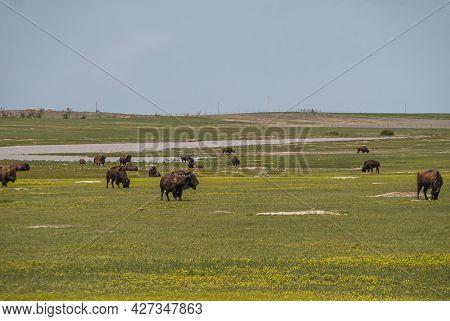 Badlands National Park, Sd, Usa - June 1, 2008: Group Of Brown Bisons Spread All Over Green Landscap