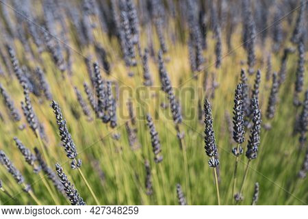 Lavender Growing In A Field - Selective Focus On One Flower