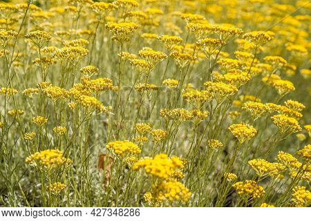 Yellow Lavender Growing In A Field - Selective Focus