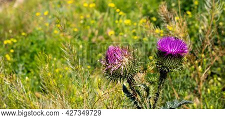 Beautiful Pink Flowers Of Prickly Green Thistle.
