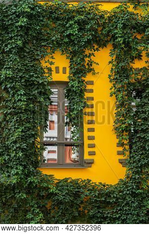 Picturesque Window On Bright Yellow Wall Decorated With Green Wild Grapes, Front View. Colorful Arch