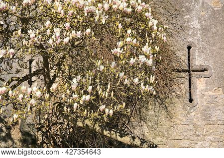 Beautiful Spring View Of Soft Pink Chinese Saucer Magnolia (magnolia Soulangeana) Tree Blossoms Bloo