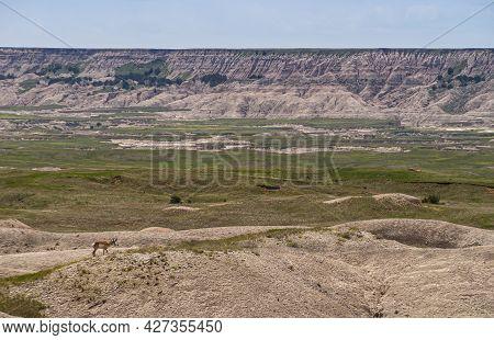 Badlands National Park, Sd, Usa - June 1, 2008: Lone Pronghorn Deer Walking In Vast Landscape Of Pra