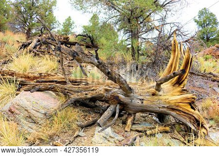 Log Deteriorating On An Alpine Meadow Surrounded By A Temperate Pine Forest Taken In The Rural San B