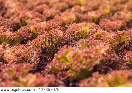 Red Coral Salad, Salad Organic Hydroponic Farm, Red Leaf Lettuce, Red Oak. Fresh Red Oak Lettuce