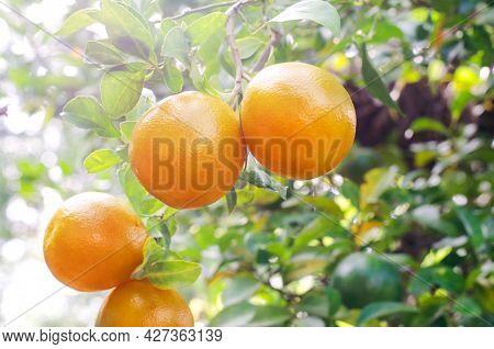 Fresh Organic Orange Fruit Hanging On Tree In The Orchard Under Morning Sun Light And Soft Light Ton