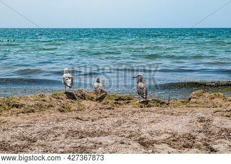 Three Seagulls Stand On A Pile Of Dry Algae On The Black Sea Coast In Zaliznyi Port (ukraine). Seabi