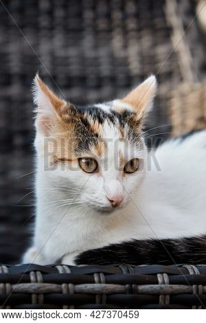 A Portrait Of A Tricolor Cat Lying On An Armchair On The Veranda. Taking Care Of Pets, Walking Cats