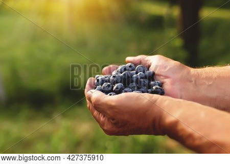 Senior Man Hands Holding Heap Of Fresh Cultivated Blueberry. Healthy Eating And Alzheimer Or Dementi