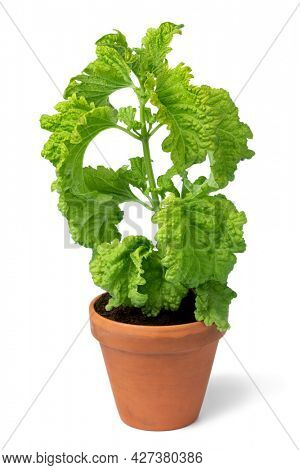 Ceramic plant pot with organic Basil Green Ruffles plant isolated on white background