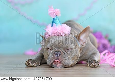 Birthday Party Dog Making A Funny Face. Lilac French Bulldog With Part Hat Lying Down In Front Of Bl