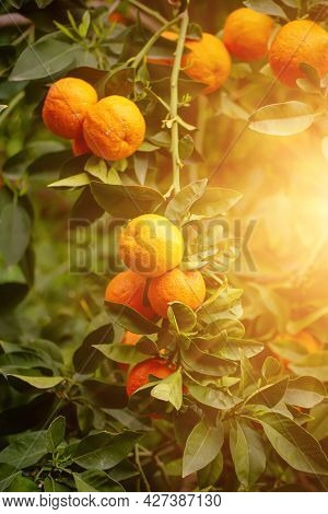 Tangerine Garden With Green Leaves And Ripe Fruits. Mandarin Orchard With Ripening Citrus Fruits. Na