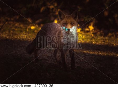 Red Foxnphotographed From The House Window. Beautiful Evening Sunlight, Italy