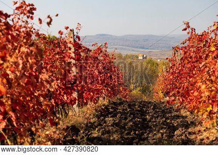 vineyard near the city Eger, northern Hungary