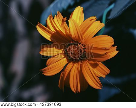 A Single Mountain Arnica Flower, Close-up. Arnica Is Also Known By The Names Mountain Tobacco, Leopa