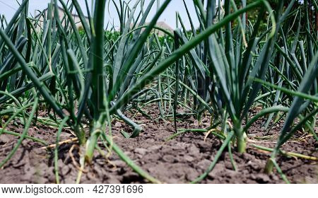 Organically Grown Onions. Green Onion In Vegetable Garden. On Vegetable Field. Growing Vegetables On