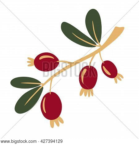 Rosehip Branch With Berries. Rosehip, Dog-rose. The Concept Of Realistic Image Of Medical Plants, He