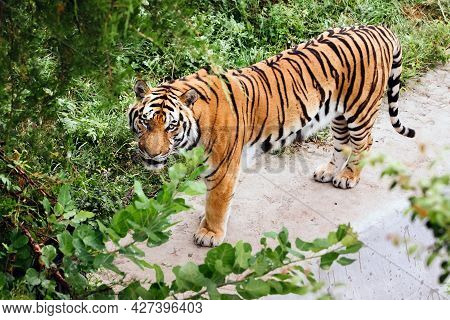 Portrait Of A Amur Tiger On A Grass In Summer Day. Single Male Tiger Looking At Camera.