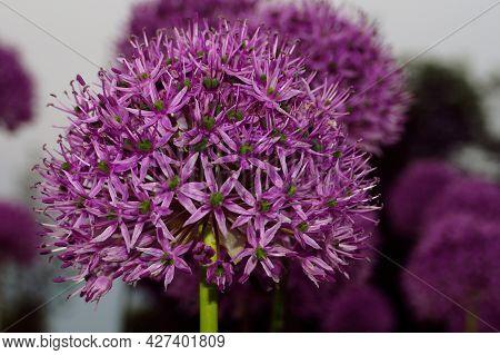 Flower Of Garlic, Allium Giganteum, Tallest Species Of Allium, Flowering Garden Plant