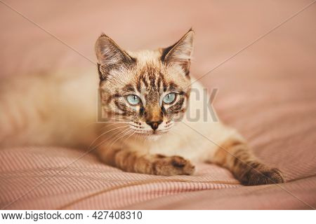 Cute Tabby Domestic Thai Kitten With Blue Eyes Is Lying On A Pink Striped Blanket On A Soft Bed In T