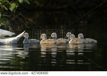 Cygnets Of Mute Swan (cygnus Olor) Swimming On A Small Lake In The Evening