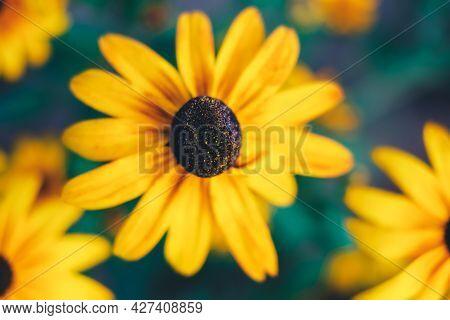 Big Black-eyed Susan, Rudbeckia Hirta, Flowers, Macro View. Beautiful Summer Flowers. Background. De