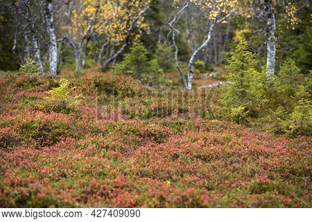 Brightly Colored Forest Floor With Different Kind Of Shrubs In Finnish Primeval Forest During Autumn