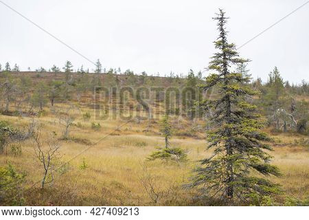 Norway Spruce Trees (picea Abies) During Colorful Autumn Foliage At The Sloping Bog At Riisitunturi