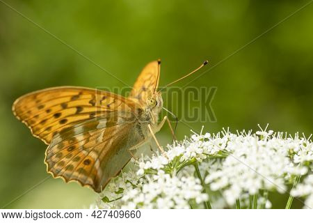 Large Orange Butterfly, Male Silver-washed Fritillary, Argynnis Paphia Feeding On Nectar Of Blooms O
