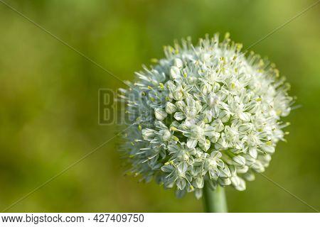 White Inflorescence Of An Onion (allium Cepa) On Soid Green Background