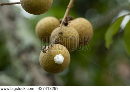 Aphid On The Longan Pests That Suck Food From Trees