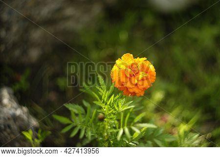 Orange Saffron Flower Isolated On Blurred Greenery Background