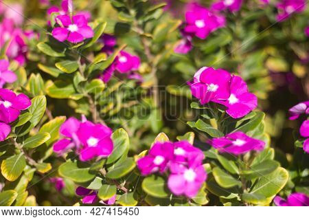 Flowers Catharanthus Pink Periwinkle With Leaves On A Sunny Day Close-up, Flowers And Plants Of Egyp