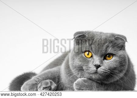 gray british shorthair cat with beautiful eyes on a white background