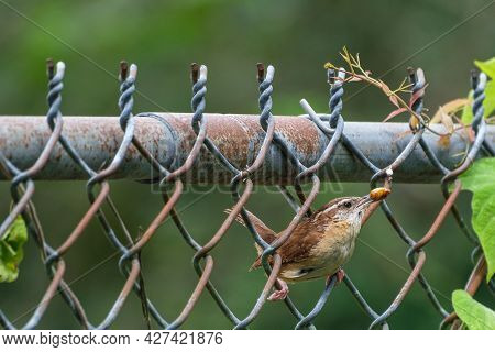 Carolina Wren Perched On A Fence With June Bug In Its Mouth