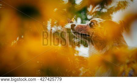 Cute pupy dog in yellow flowers with butterfly on nose . Portrait of an australian shepherd in a flower garden.