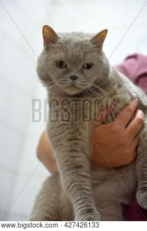 Gray British Cat With  Attentive Gaze