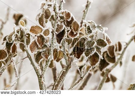 Frost-covered Dry Leaves Of Plants In The Garden In Severe Frost