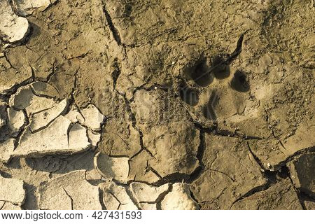 Paw Tracks Found In A Muddy Ground Near The River.