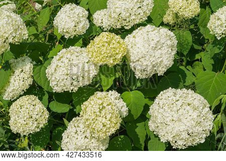 Full Frame Of Flower Heads Of Hortensia. Decorative Flowers Native To To The Eastern United States.