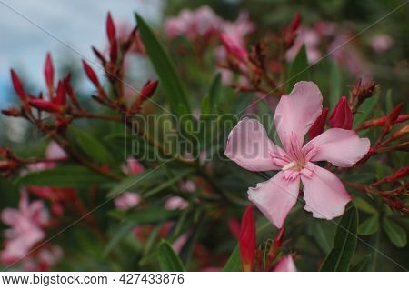 Oleander Bush With Pink Flowers. A Shrub With Decorative Pink Flowers. The Southern Flower Is Oleand
