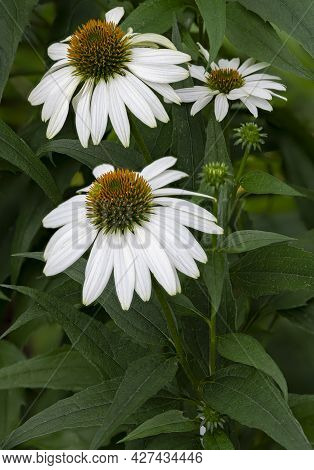 White Coneflowers (hybridized Variety) Grow In A Suburban Garden, Will County, Illinois
